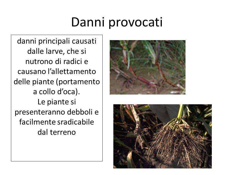 Danni provocati danni principali causati dalle larve, che si nutrono di radici e causano l'allettamento delle piante (portamento a collo d'oca).