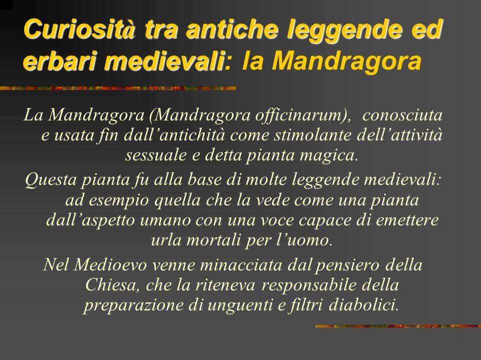 Curiosità tra antiche leggende ed erbari medievali: la Mandragora