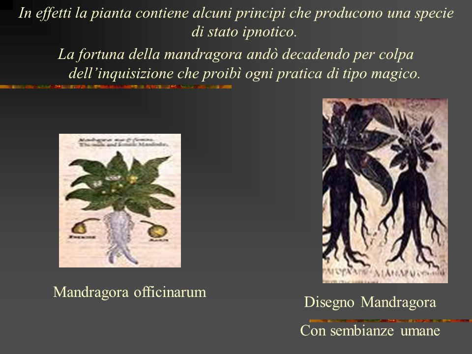 Mandragora officinarum