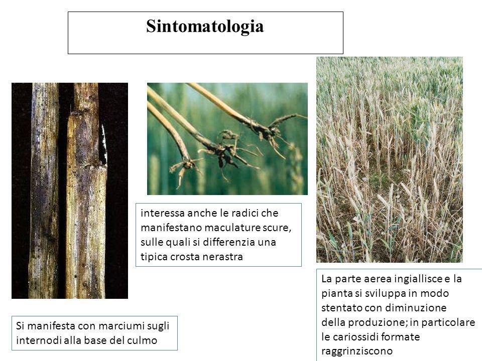 Sintomatologia interessa anche le radici che