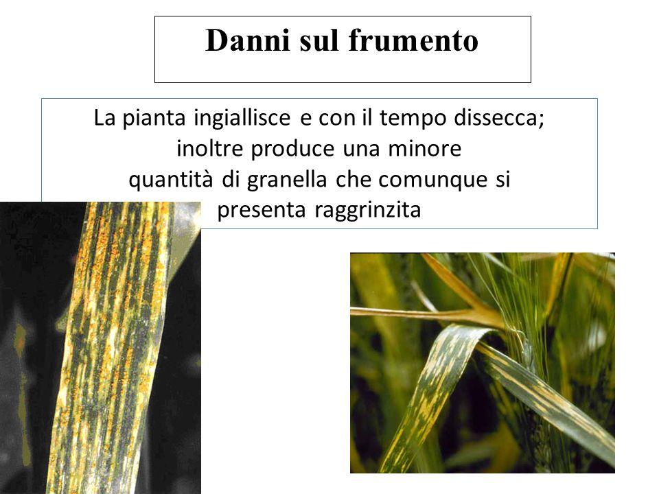 Danni sul frumento La pianta ingiallisce e con il tempo dissecca;