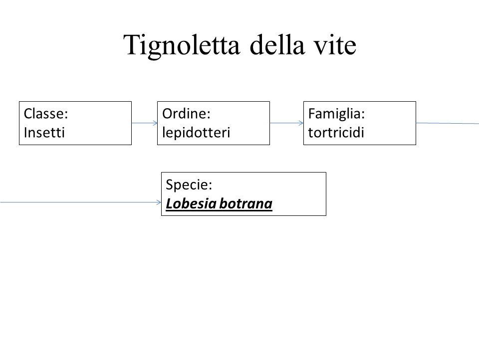 Tignoletta della vite Classe: Insetti Ordine: lepidotteri Famiglia: