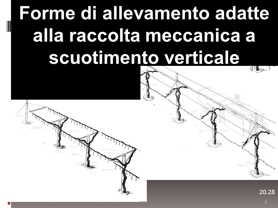 Forme di allevamento adatte alla raccolta meccanica a scuotimento verticale