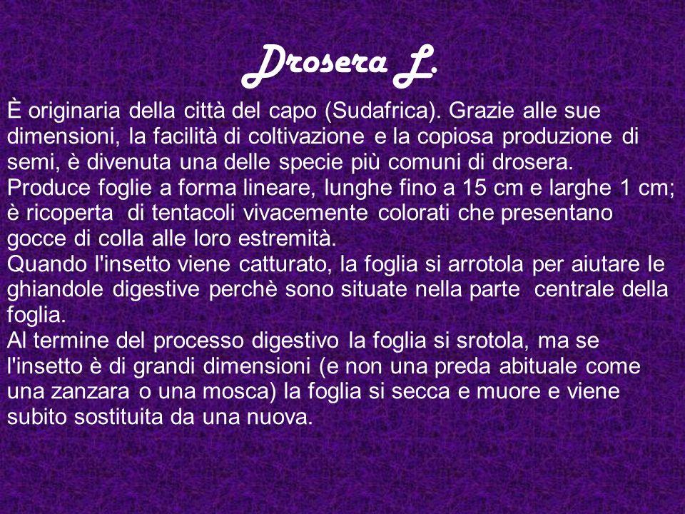 Drosera L.