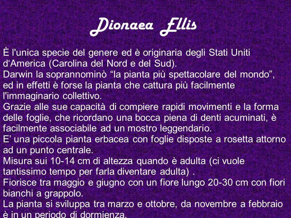 Dionaea Ellis È l unica specie del genere ed è originaria degli Stati Uniti d'America (Carolina del Nord e del Sud).