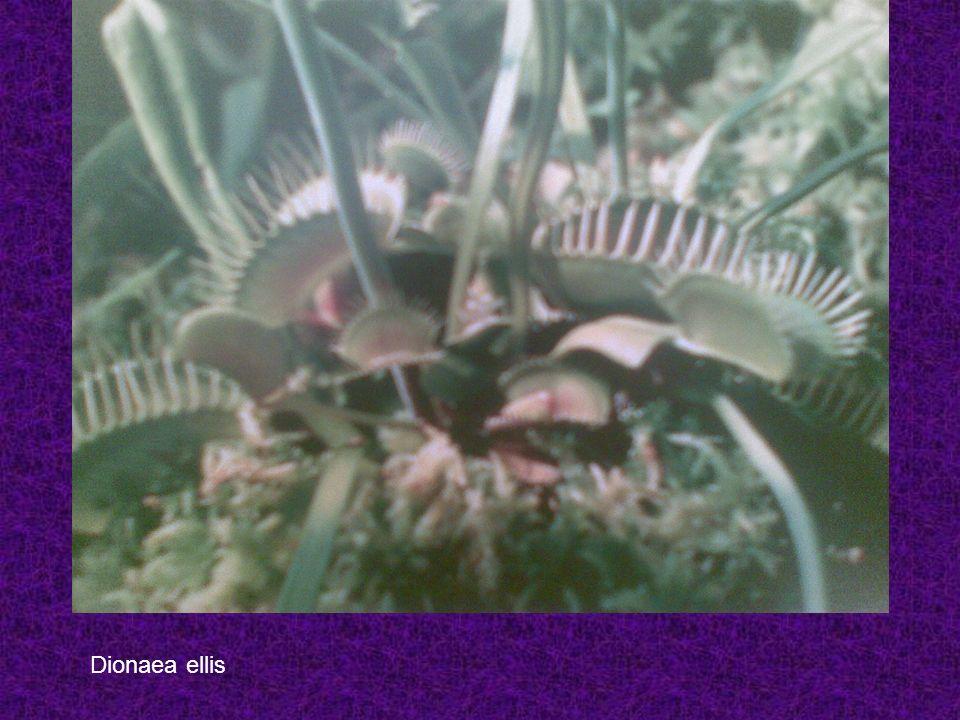 Dionaea ellis
