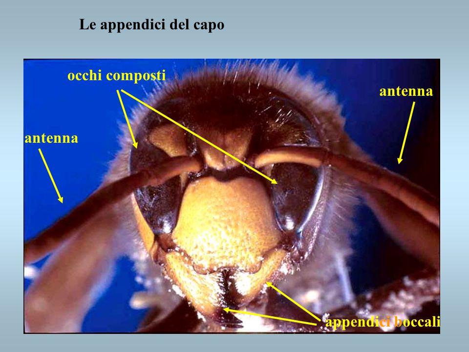 Le appendici del capo occhi composti antenna antenna appendici boccali