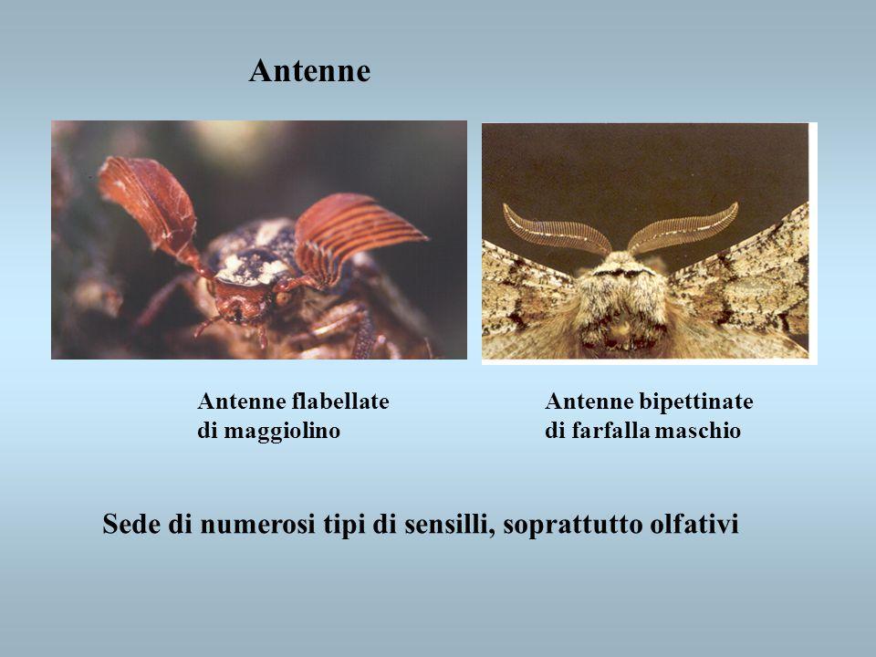 Antenne Sede di numerosi tipi di sensilli, soprattutto olfativi