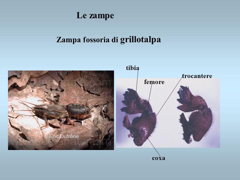 Le zampe Zampa fossoria di grillotalpa tibia trocantere femore coxa