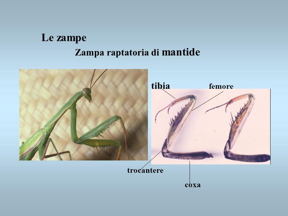 Le zampe Zampa raptatoria di mantide tibia femore trocantere coxa