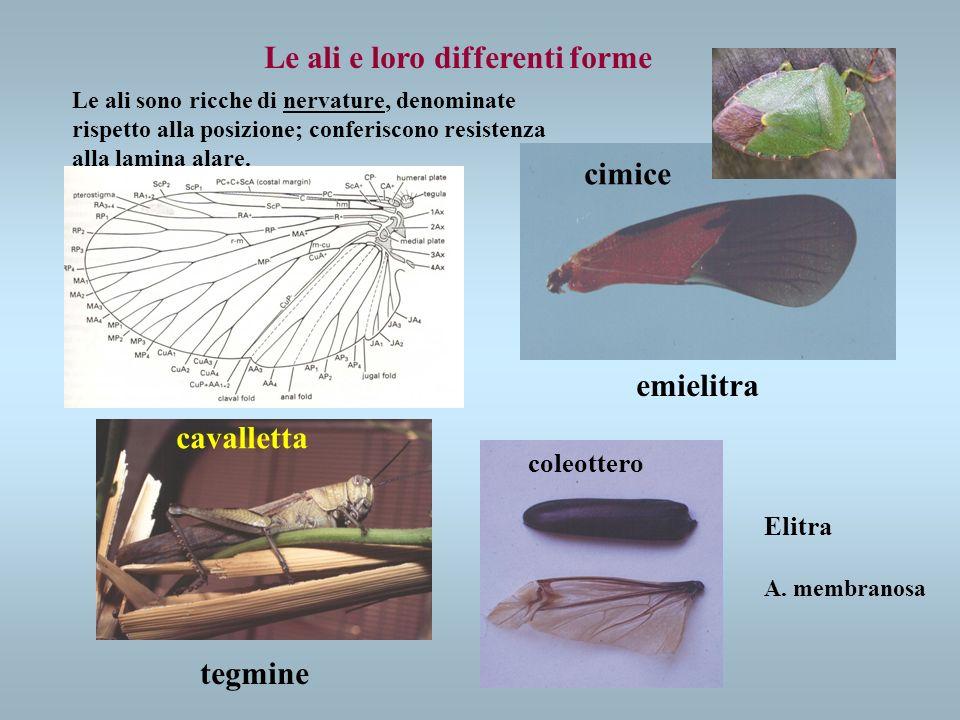Le ali e loro differenti forme