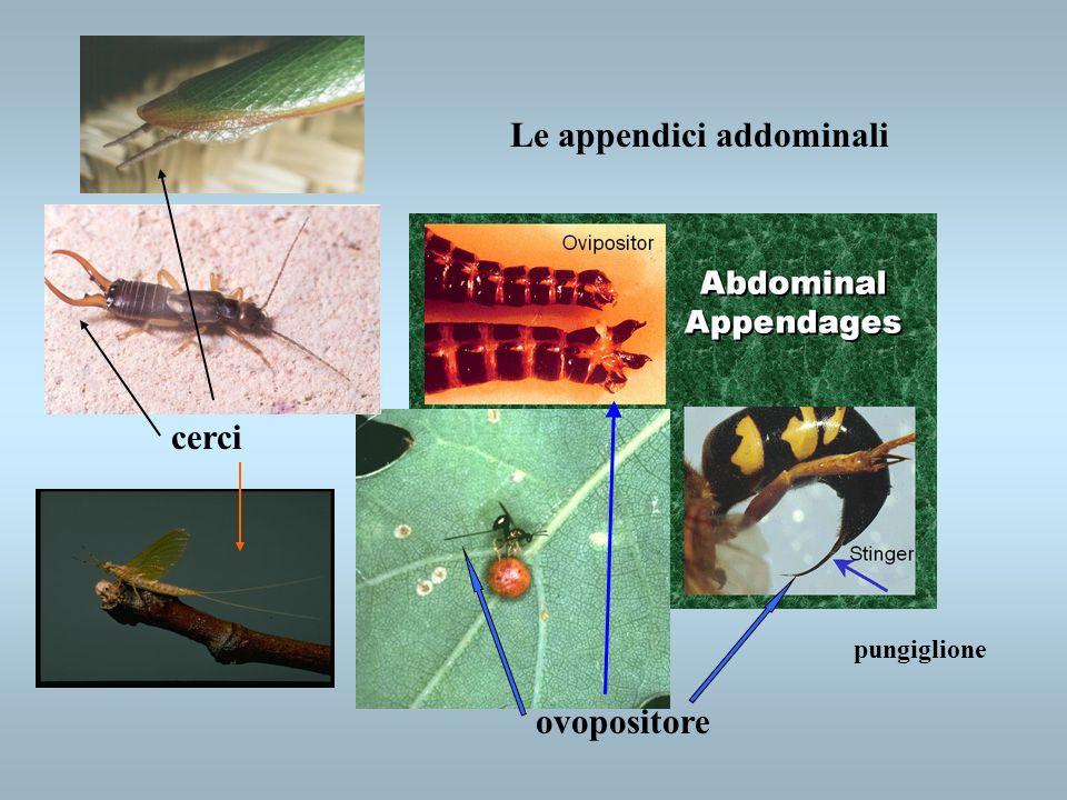 Le appendici addominali