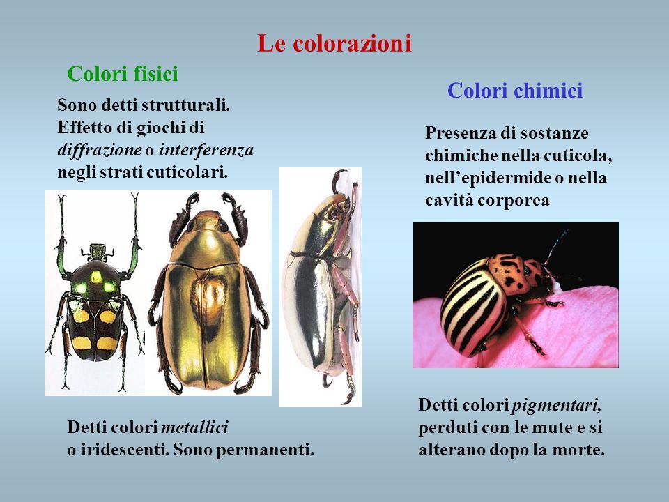Le colorazioni Colori fisici Colori chimici Sono detti strutturali.