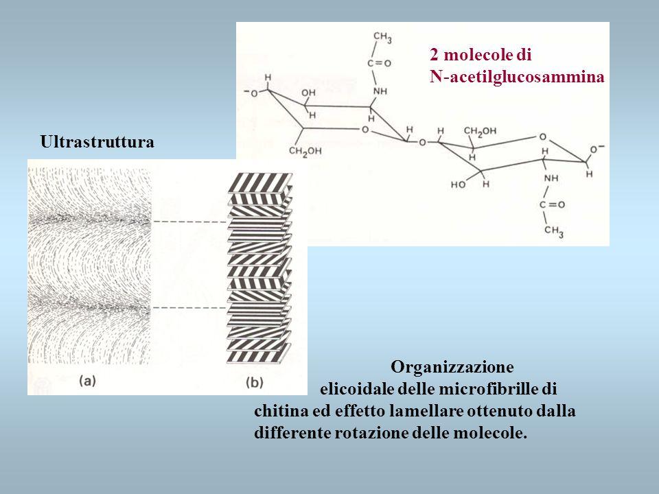 2 molecole di N-acetilglucosammina. Ultrastruttura. Organizzazione.