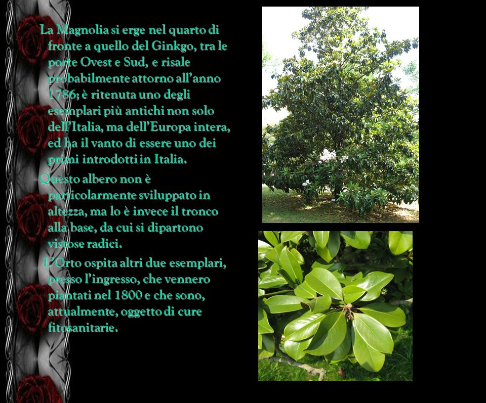 La Magnolia si erge nel quarto di fronte a quello del Ginkgo, tra le porte Ovest e Sud, e risale probabilmente attorno all'anno 1786; è ritenuta uno degli esemplari più antichi non solo dell'Italia, ma dell'Europa intera, ed ha il vanto di essere uno dei primi introdotti in Italia.