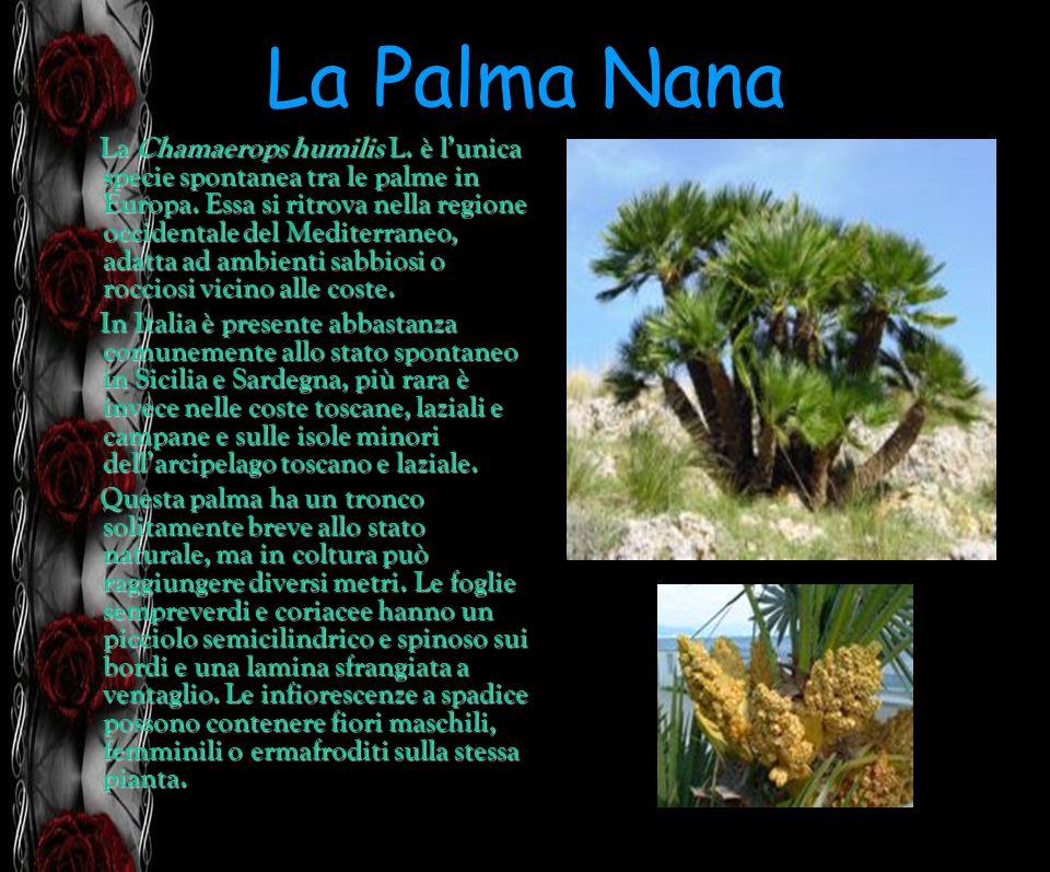 La Palma Nana