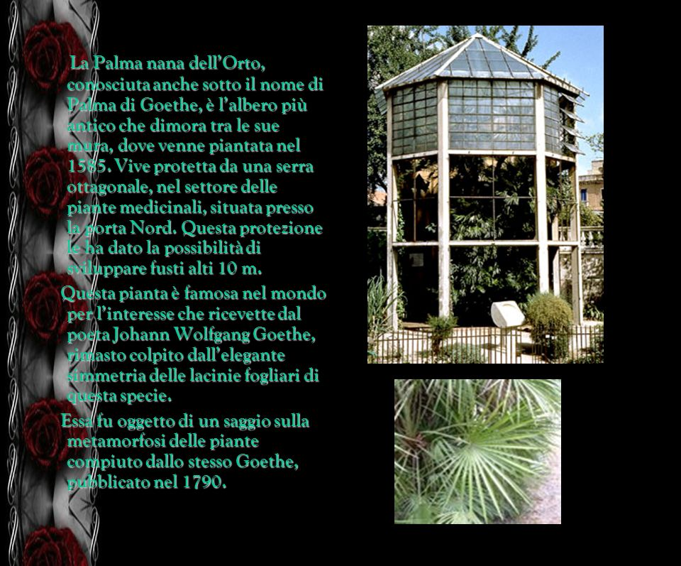 La Palma nana dell'Orto, conosciuta anche sotto il nome di Palma di Goethe, è l'albero più antico che dimora tra le sue mura, dove venne piantata nel 1585. Vive protetta da una serra ottagonale, nel settore delle piante medicinali, situata presso la porta Nord. Questa protezione le ha dato la possibilità di sviluppare fusti alti 10 m.