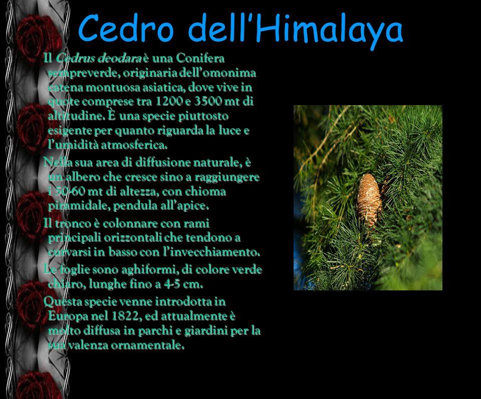 Cedro dell'Himalaya
