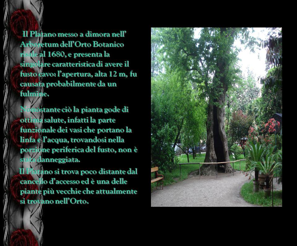 Il Platano messo a dimora nell' Arboretum dell'Orto Botanico risale al 1680, e presenta la singolare caratteristica di avere il fusto cavo: l'apertura, alta 12 m, fu causata probabilmente da un fulmine.