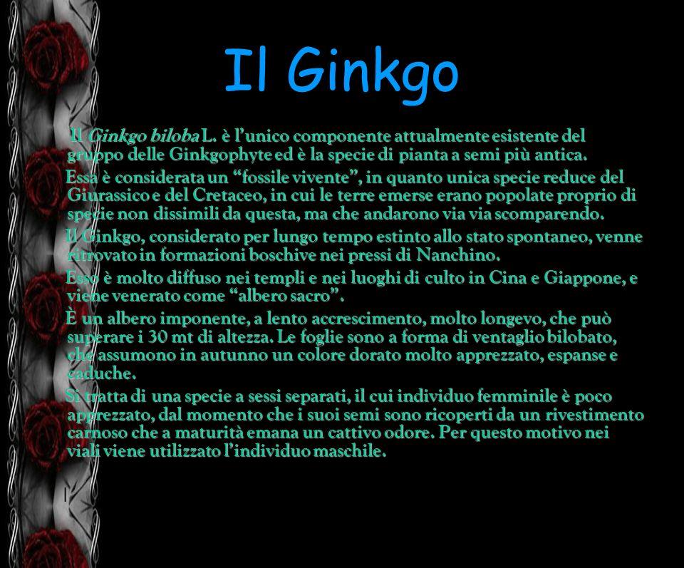 Il Ginkgo Il Ginkgo biloba L. è l'unico componente attualmente esistente del gruppo delle Ginkgophyte ed è la specie di pianta a semi più antica.