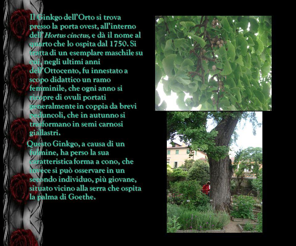 Il Ginkgo dell'Orto si trova presso la porta ovest, all'interno dell'Hortus cinctus, e dà il nome al quarto che lo ospita dal 1750. Si tratta di un esemplare maschile su cui, negli ultimi anni dell'Ottocento, fu innestato a scopo didattico un ramo femminile, che ogni anno si ricopre di ovuli portati generalmente in coppia da brevi peduncoli, che in autunno si trasformano in semi carnosi giallastri.