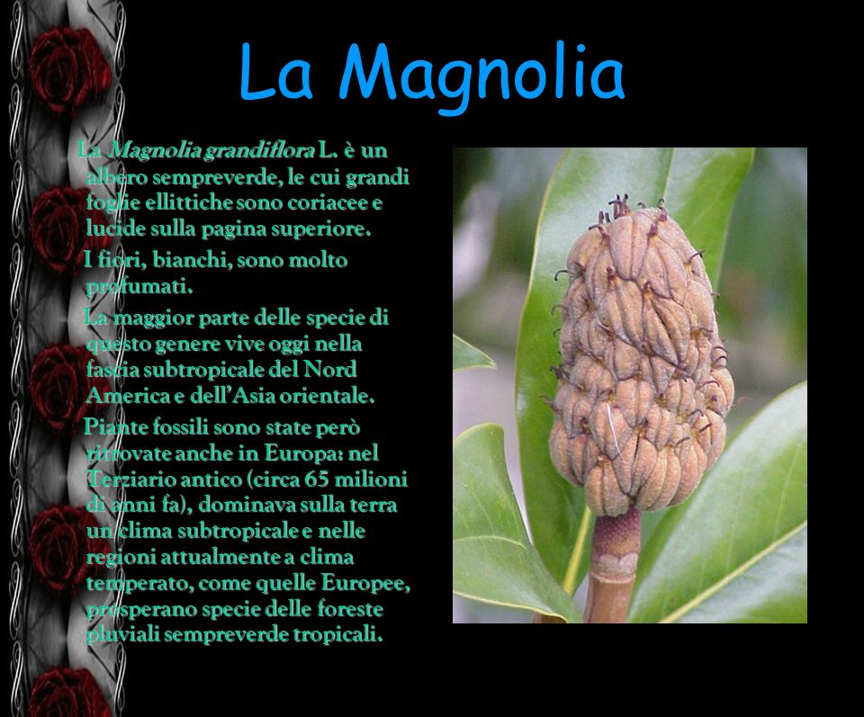 La Magnolia La Magnolia grandiflora L. è un albero sempreverde, le cui grandi foglie ellittiche sono coriacee e lucide sulla pagina superiore.