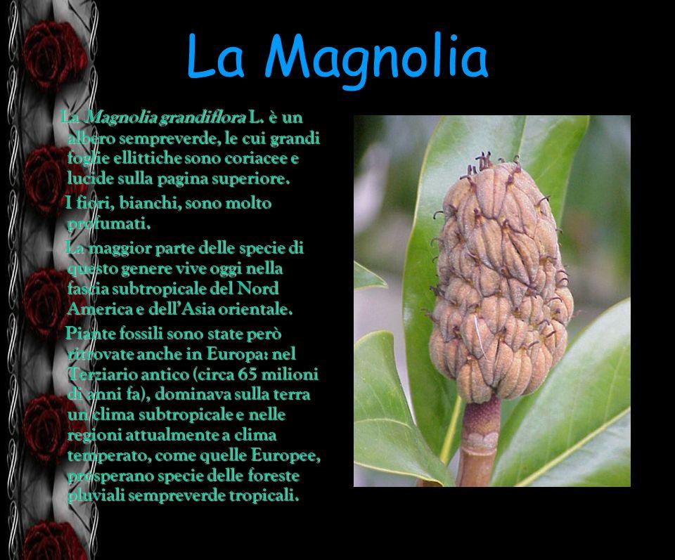 La MagnoliaLa Magnolia grandiflora L. è un albero sempreverde, le cui grandi foglie ellittiche sono coriacee e lucide sulla pagina superiore.