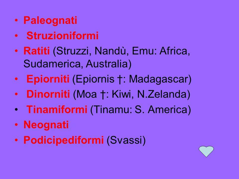 Paleognati Struzioniformi Ratiti (Struzzi, Nandù, Emu: Africa, Sudamerica, Australia) Epiorniti (Epiornis †: Madagascar)