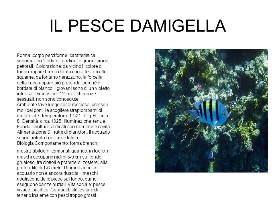 IL PESCE DAMIGELLA