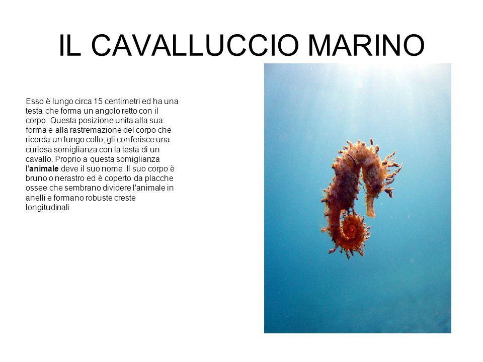 IL CAVALLUCCIO MARINO