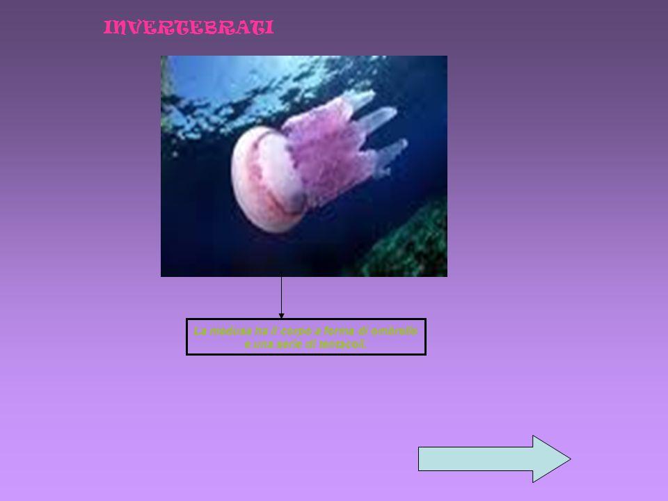 La medusa ha il corpo a forma di ombrello e una serie di tentacoli.
