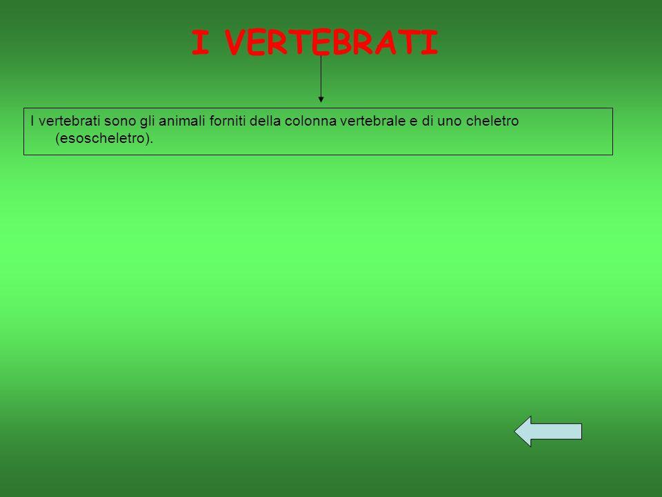 I VERTEBRATI I vertebrati sono gli animali forniti della colonna vertebrale e di uno cheletro (esoscheletro).