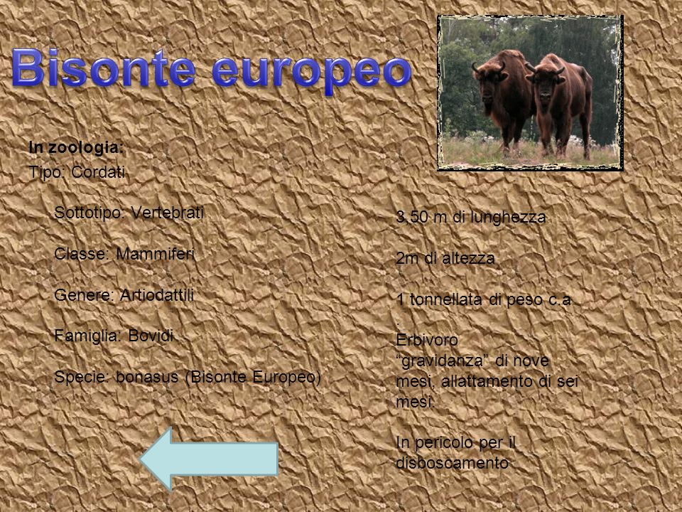 Bisonte europeo