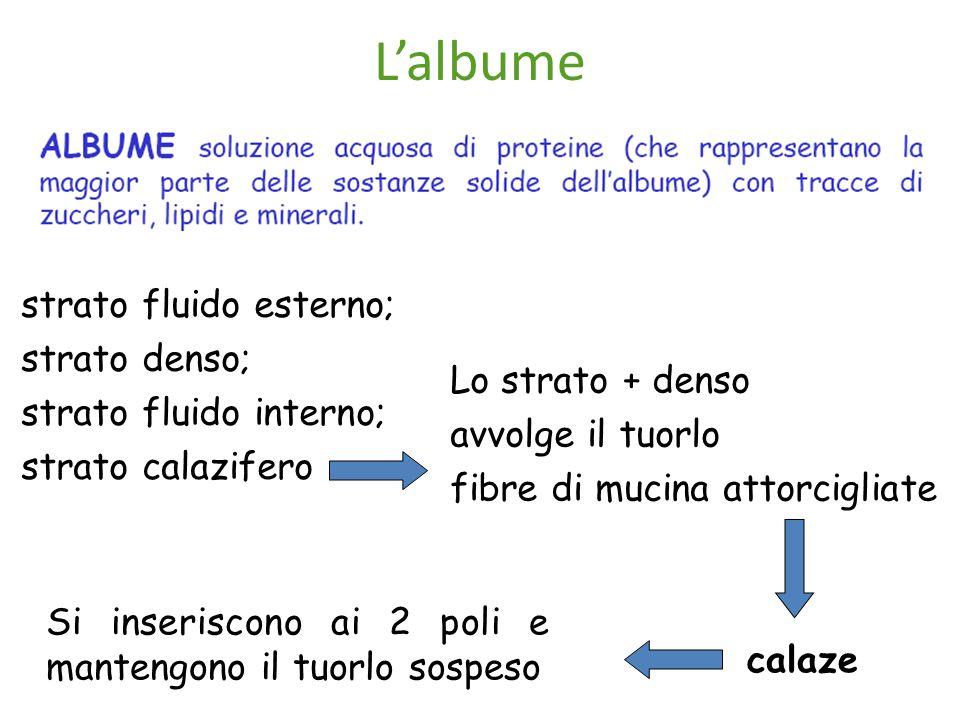 L'albume strato fluido esterno; strato denso; strato fluido interno;