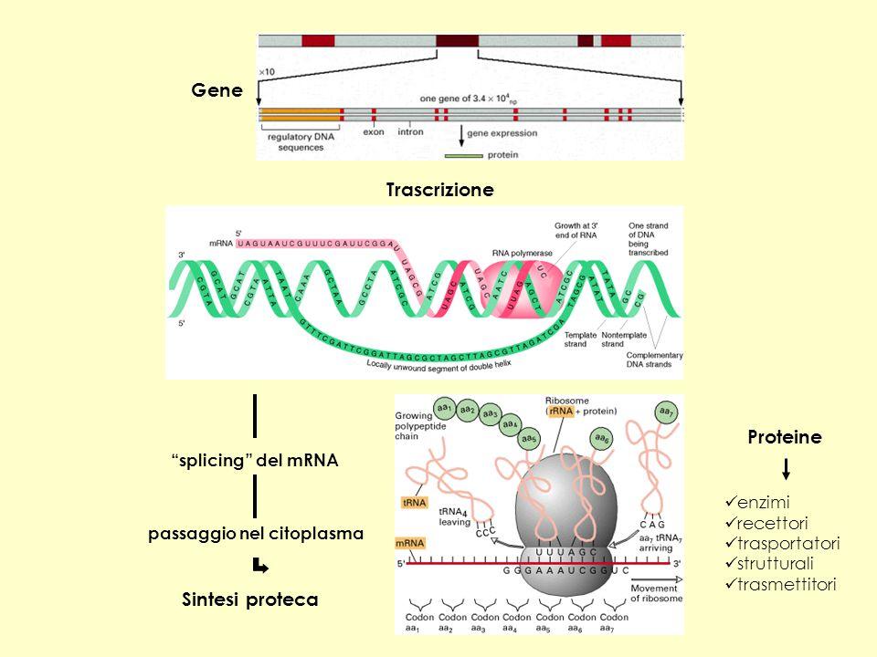 Gene Trascrizione Proteine Sintesi proteca splicing del mRNA enzimi