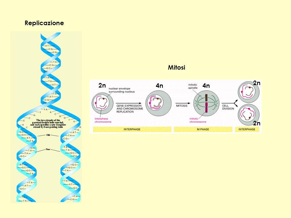 Replicazione Mitosi 2n 2n 4n 4n 2n