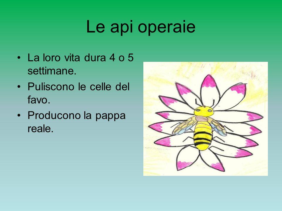 Le api operaie La loro vita dura 4 o 5 settimane.