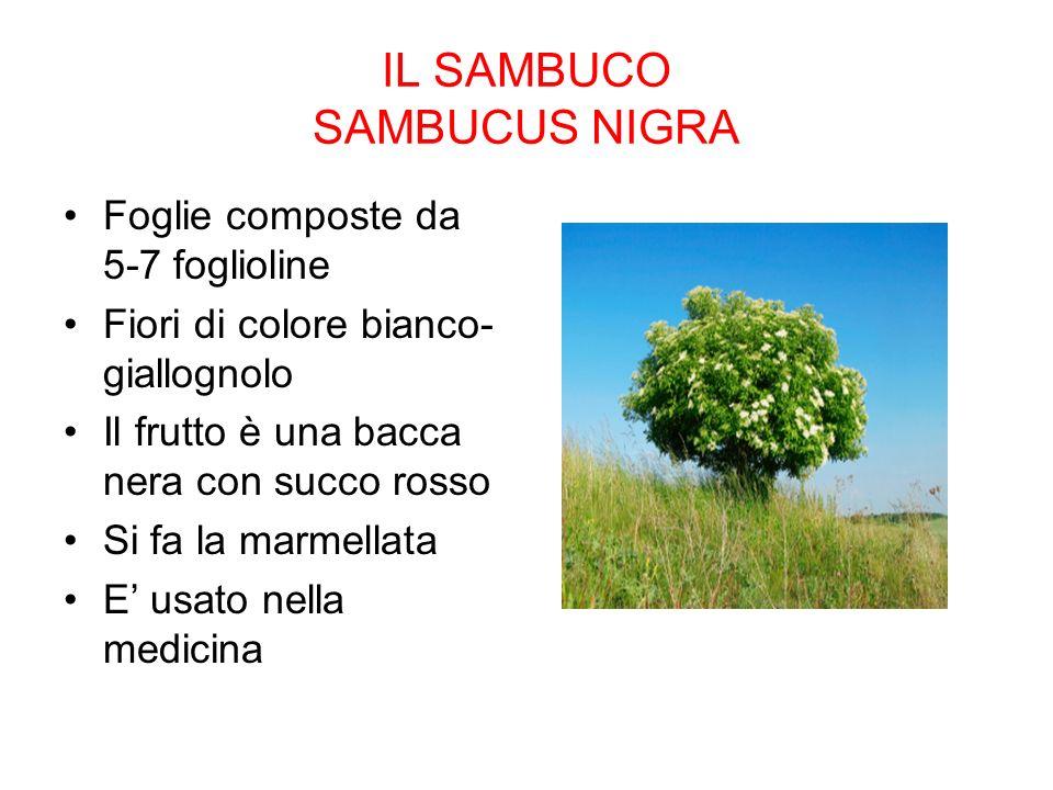 IL SAMBUCO SAMBUCUS NIGRA