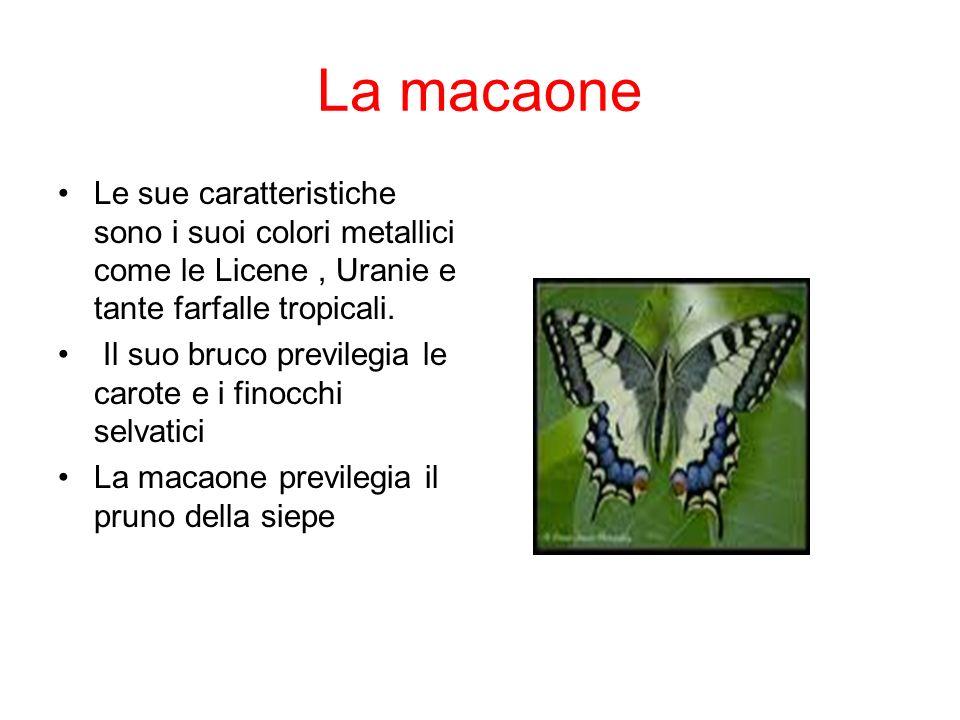 La macaone Le sue caratteristiche sono i suoi colori metallici come le Licene , Uranie e tante farfalle tropicali.