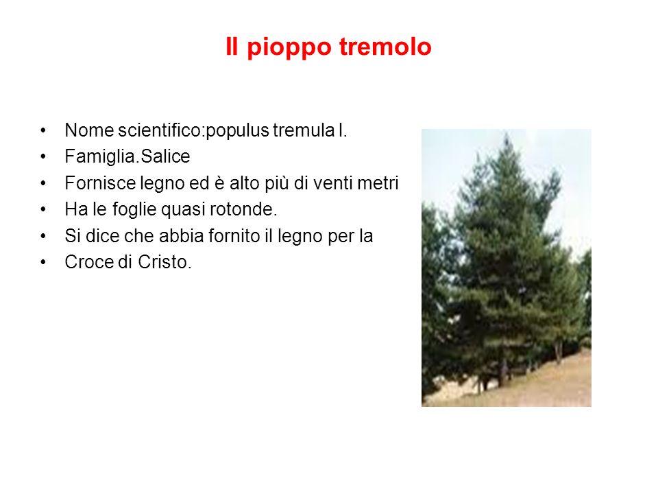 Il pioppo tremolo Nome scientifico:populus tremula l. Famiglia.Salice