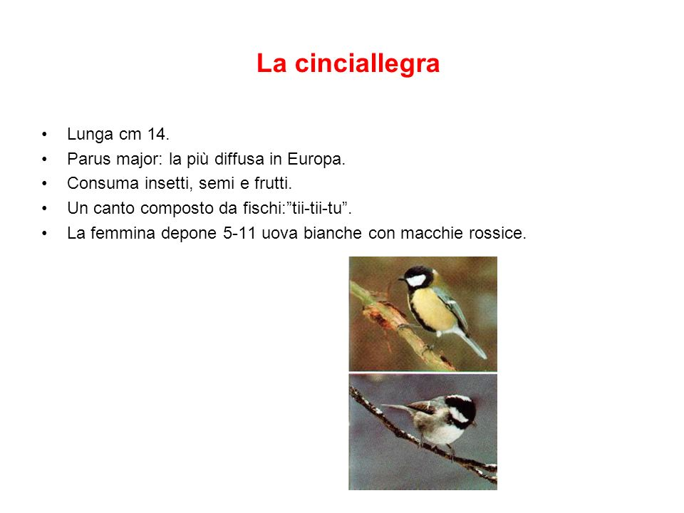 La cinciallegra Lunga cm 14. Parus major: la più diffusa in Europa.