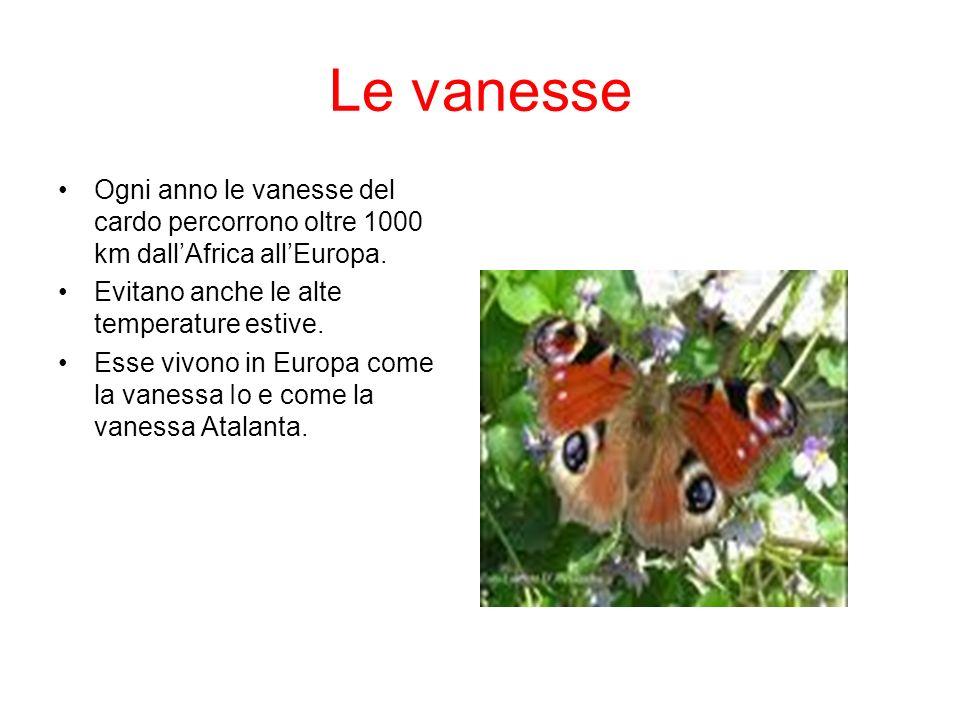 Le vanesse Ogni anno le vanesse del cardo percorrono oltre 1000 km dall'Africa all'Europa. Evitano anche le alte temperature estive.