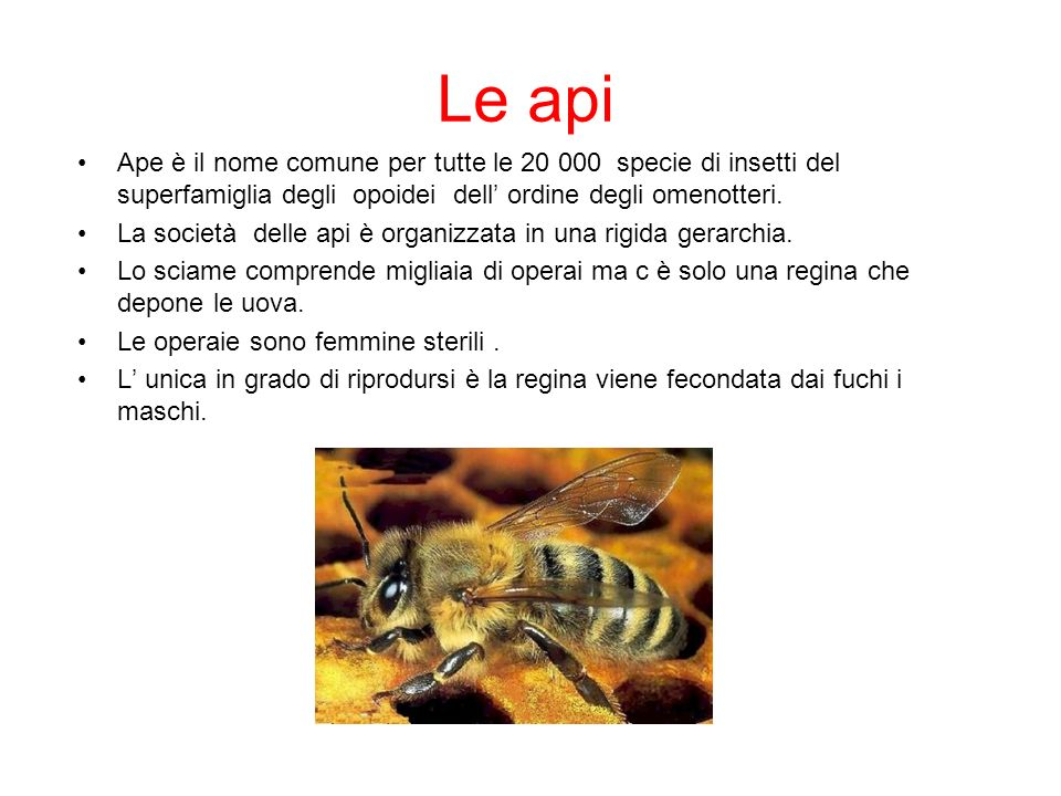 Le api Ape è il nome comune per tutte le 20 000 specie di insetti del superfamiglia degli opoidei dell' ordine degli omenotteri.