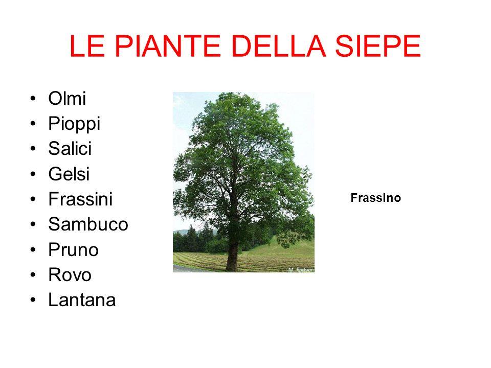 LE PIANTE DELLA SIEPE Olmi Pioppi Salici Gelsi Frassini Sambuco Pruno