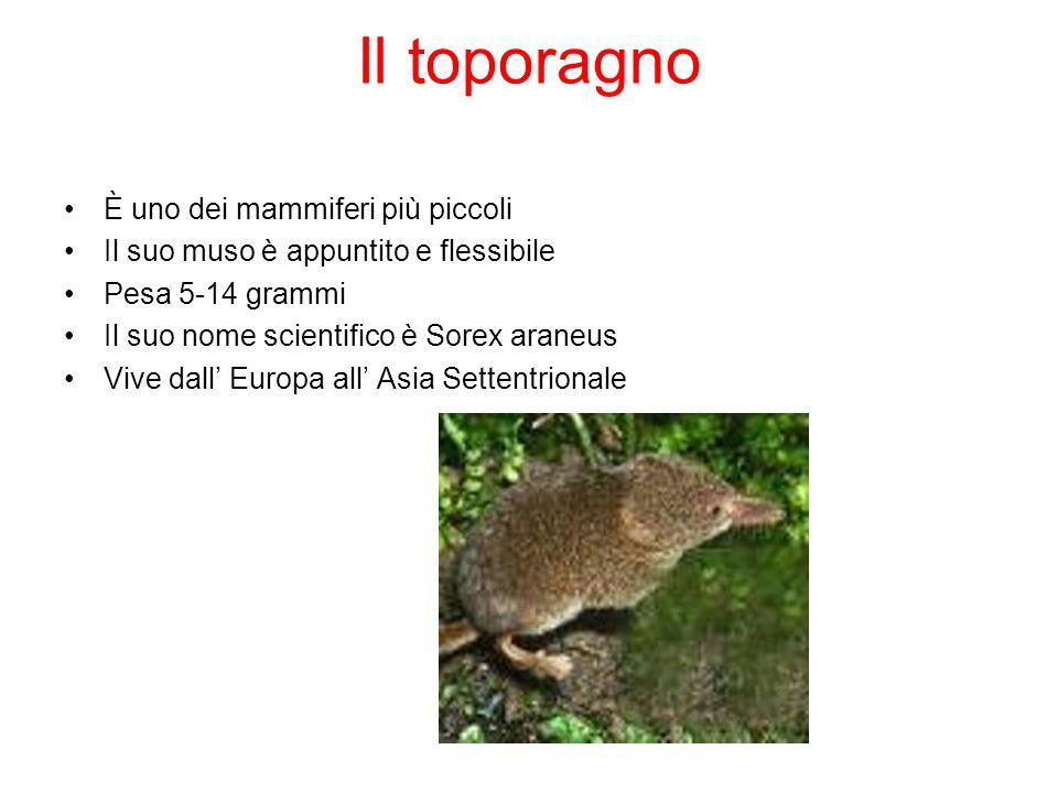 Il toporagno È uno dei mammiferi più piccoli