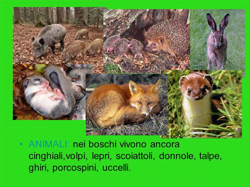 ANIMALI: nei boschi vivono ancora cinghiali,volpi, lepri, scoiattoli, donnole, talpe, ghiri, porcospini, uccelli.