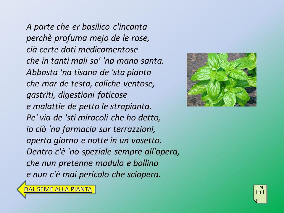 A parte che er basilico c incanta perchè profuma mejo de le rose, cià certe doti medicamentose che in tanti mali so na mano santa.