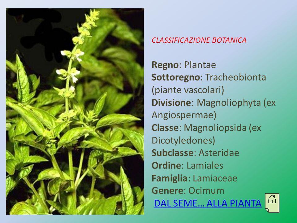 CLASSIFICAZIONE BOTANICA Regno: Plantae Sottoregno: Tracheobionta (piante vascolari) Divisione: Magnoliophyta (ex Angiospermae) Classe: Magnoliopsida (ex Dicotyledones) Subclasse: Asteridae Ordine: Lamiales Famiglia: Lamiaceae Genere: Ocimum