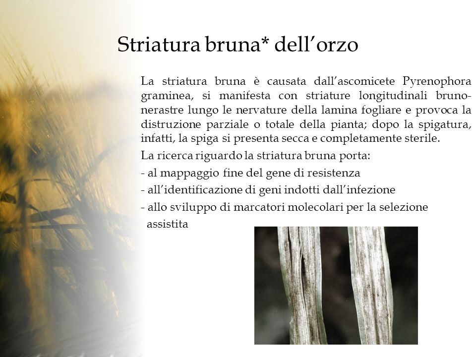 Striatura bruna* dell'orzo