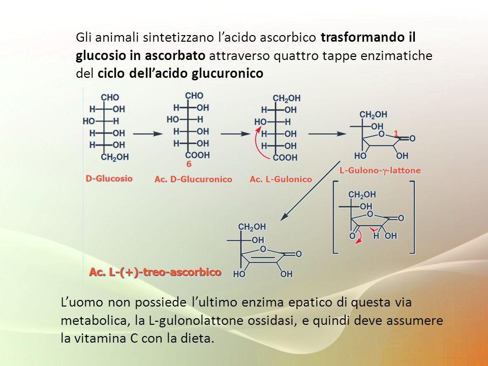 Gli animali sintetizzano l'acido ascorbico trasformando il glucosio in ascorbato attraverso quattro tappe enzimatiche del ciclo dell'acido glucuronico